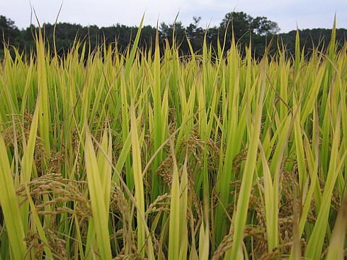 Рис почти созрел
