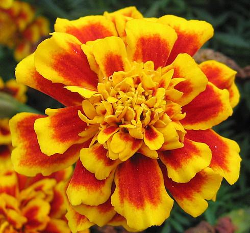 Самые осенние цветы