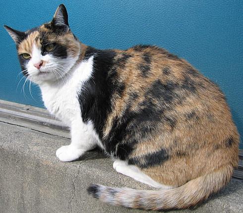 Первая ручная корейская кошка - на кис-кис не откликается...