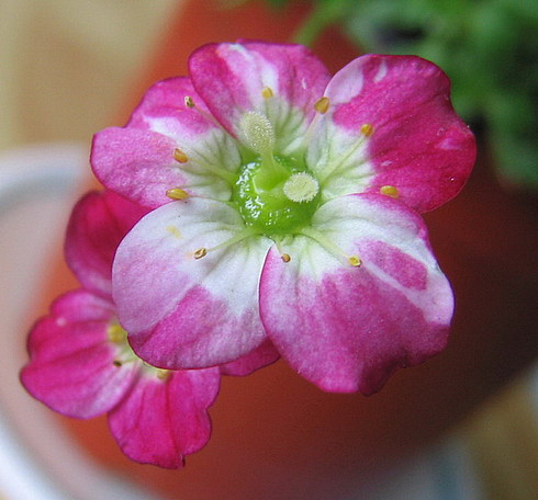 Цветок, подаренный нам Учителем. Говорят, истинно высокогорный:)
